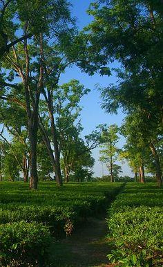 Tea Garden in Assam, India