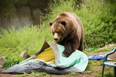 regular use or bear may require you to know how to repair a tent