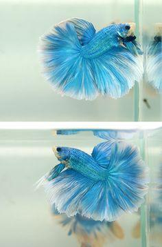 Metallic Ice betta fish   #fishtank #pets #aquarium #betta