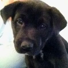 Cutest puppy ever piper the norwegian elkhound lab mix