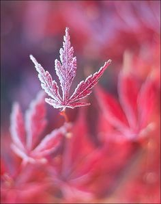pink flowers, cannabi, fall leaves, red, autumn, macro photography, weed, frost, photographi
