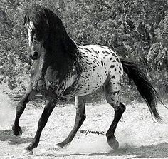 """""""El Caballo Tigre,"""" from Spain, and the oriental Heavenly Horses once used to hunt the Siberian Tiger. Fortunately before going extinct, the exotic spotting genes of those early breeds, plus many of their original characteristics, began arriving in the USA in a mixture of related breeds, some 300 years ago. Today's Tiger Horse is a larger, longer living version than the Heavenly Horses from which they descend"""