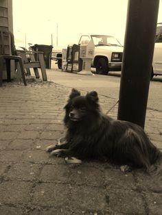 Pomeranian hanging out at El Chupacabra. Alki Beach- West Seattle.