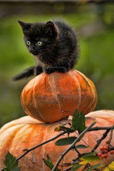 [black cat sitting on pumpkin]