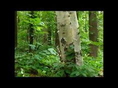 Inoculating Trees with chaga-- video