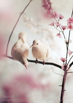 White doves in cherry blossoms