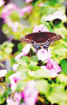 Eastern Black Swallowtail male butterfly (Papilio polyxenes)
