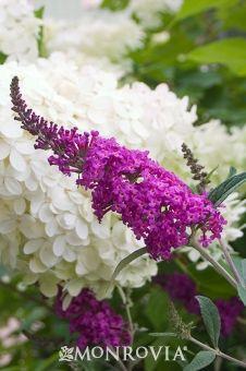 Miss Ruby Summer Lilac -D- full sun - 4-5HxW