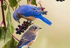 Photo of the Day: Eastern Bluebird. From audubonmagazine.org.