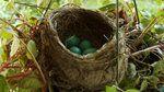 Robins: 4 Eggs, 4 Weeks on Vimeo