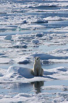 Polar bear sitting amongst fractured sea ice - Svalbard, Norway