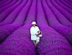 walk a field of Lavender