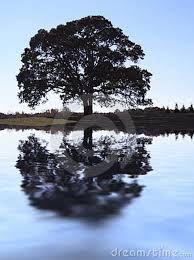 oak tree -