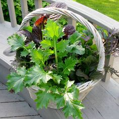 Thrift Store Basket with Lettuce Greens Mix - great idea for small space or deck.