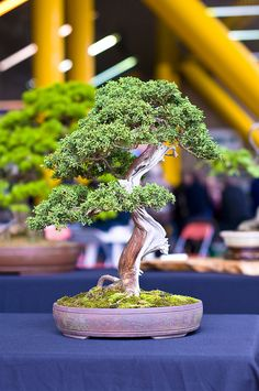 Chinese Juniper or Sargent's Juniper Bonsai Tree (Juniperus sargentii) at Don Valley Bonsai Roadshow, Sheffield by Steve Greaves, via Flickr