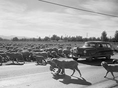 Sheep roaming on Roscoe Blvd in Canoga Park! Love this picture of the SFV