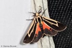 Want a good look at some fluttering phantoms of the night? Mix up some moth mash.   Xplor
