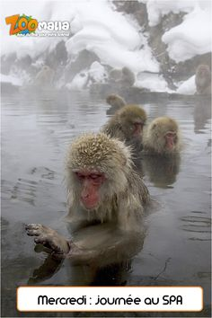 #SPA #singes #monkeys #humor #funny #animalerie #zoomalia htttp://www.zoomalia.com