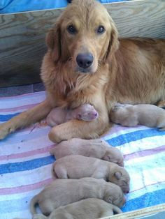 Golden retriever and her 3 day old puppies