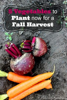 5 Vegetables to Plant now for a fall harvest. Great list of vegetables to put in now to extend the growing season, plus which ones to sow from seed and which ones should be transplants. I'm sowing some more seed tomorrow