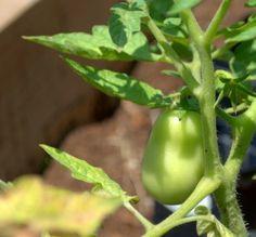 How To Be The Worst Gardener Ever and Still Grow Food {Veggie Garden Update} #gardening #homesteading #vegetablegarden