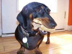 doxie... mouthful of cookies