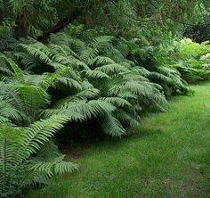 fern garden, backyard idea, ferns garden, ostrich fern, front yards, shade, fern planting, matteuccia struthiopteri, backyards