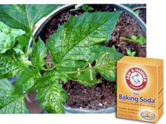 Baking Soda Remedies in the Garden