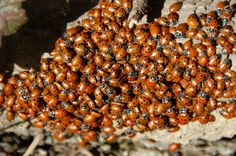 Have ladybugs started invading your home now that the weather is cooler? Here's how to get rid of them without killing them.