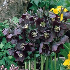 Helleborus Queen of the Night    (http://www.green-works.nl/en/cut-flower/helleborus-queens/)