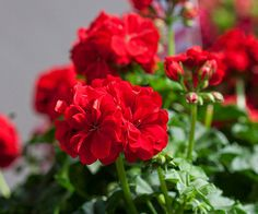 This new family of geraniums can survive in hot and humid conditions. More annuals: http://www.bhg.com/gardening/flowers/top-red-orange-yellow-annuals/?socsrc=bhgpin070403greatballsoffire=15