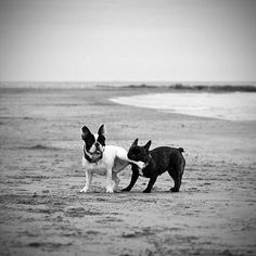 beaches, anim, stick, friends, french bulldogs, bones, at the beach, legs, puppi