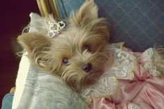How cute is this Yorkie? halloween costumes, marie antoinette, profile pictures, dress up, a little princess, puppi, princesses, dog, new puppy