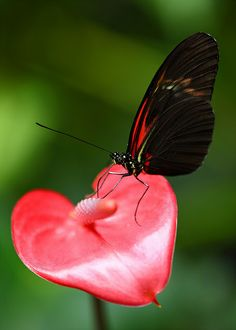 Heliconius Butterfly on Flower