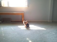 Lucy, the World's Smallest Working Dog, finds a sun puddle!