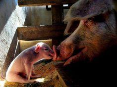 Pig love...