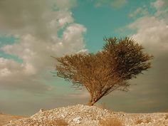 Accacia Tree desert photography Dead Sea Israel by MorrisClassics, $18.00