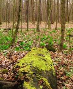 Moss covering a log @ Wolf Creek near Slippery Rock, PA