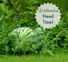 Watermelons need lots of time to mature. You have to be patient with this fruit http://thegardeningcook.com/patience-watermelons/