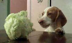 Dog steals cabbage (video)