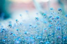 the lord, pastel, field flowers, blue flowers, colors, fairy tales, periwinkle blue, baby blues, fields