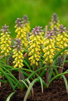Buy grape hyacinth bulbs Muscari macrocarpum 'Golden Fragrance': Delivery by Crocus.co.uk