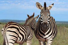 eleph nation, animals, nation park, cape, national geographic, south africa, national parks, zebra, eye
