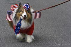 BG patriotic miniature collie 7-4-13 | Flickr