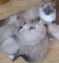 Ragdoll Rihanna & her babies