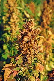 Growing and Harvesting Quinoa & Amaranth