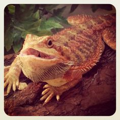 Male translucent bearded dragon