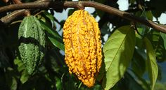 Criollo Cacao growing in Peru