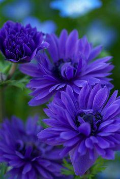 Deep Purple Flowers - So Pretty