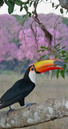 brazil's toucans, with their tuxedo-like feathers and pop of color, always seem dressed for an occasion. (may 2014)